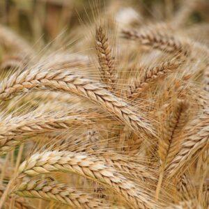 Le farine antiche: cosa sono e quali sono